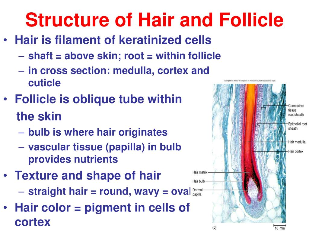 Structure of Hair and Follicle