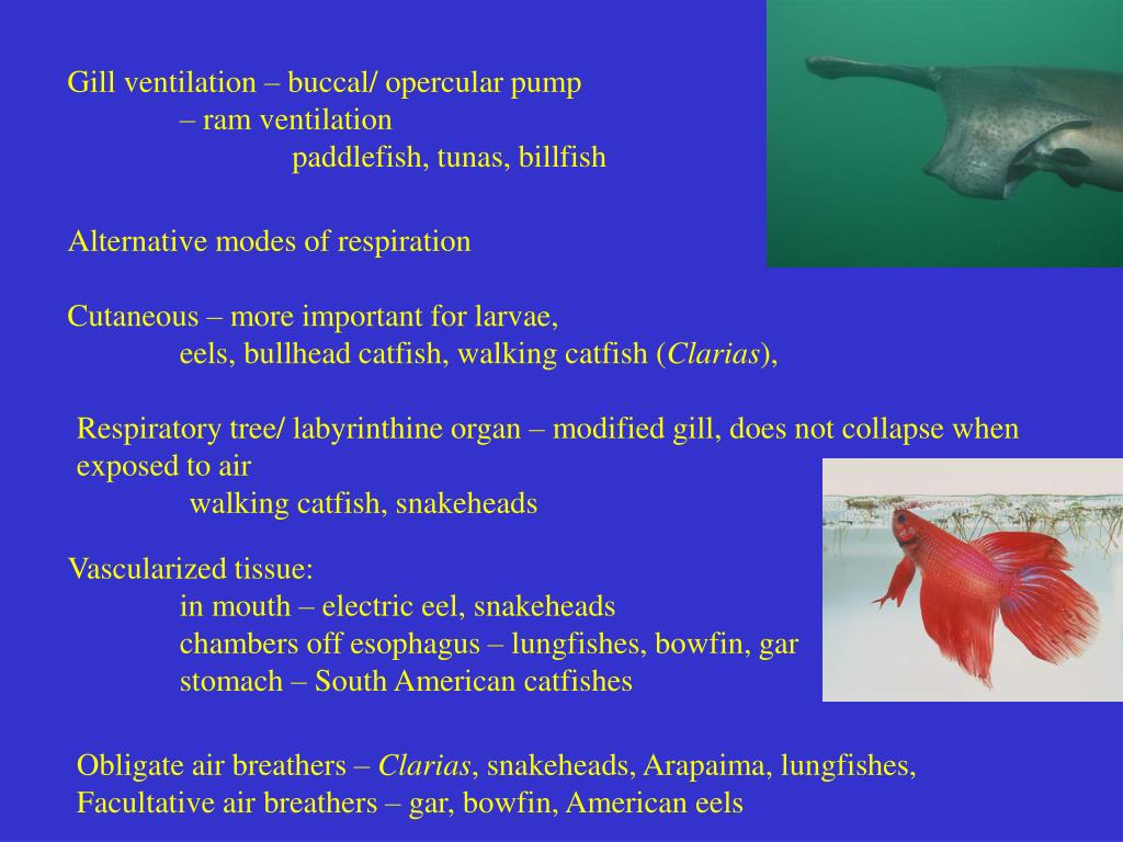 Gill ventilation – buccal/ opercular pump