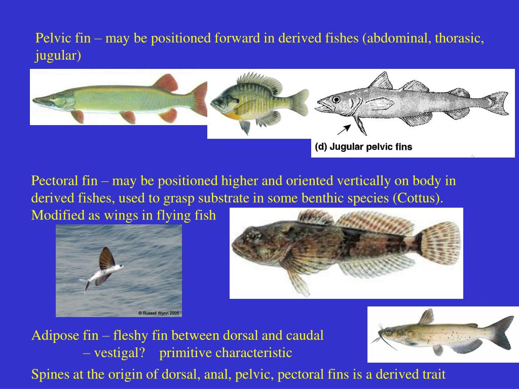 Pelvic fin – may be positioned forward in derived fishes (abdominal, thorasic, jugular)