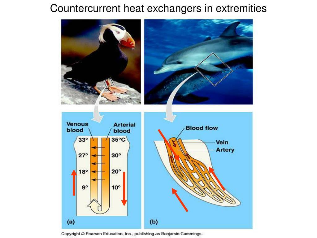 Countercurrent heat exchangers in extremities