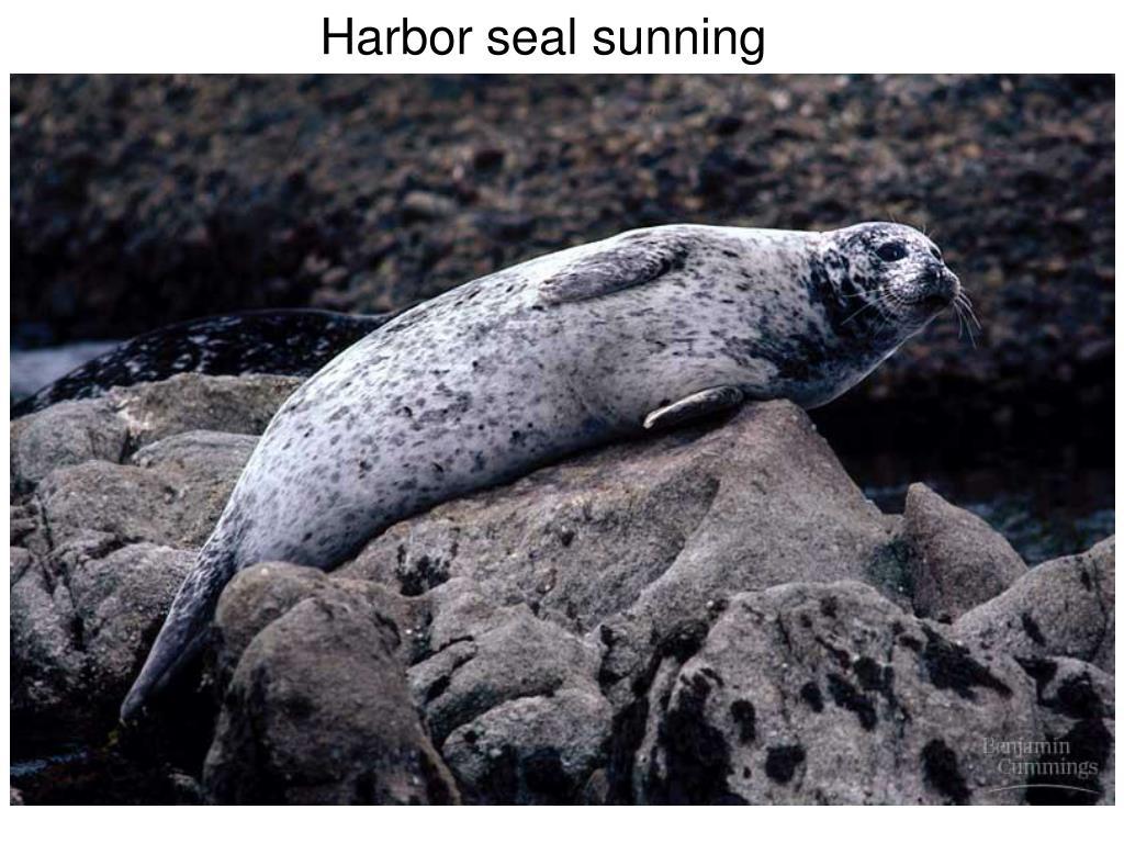 Harbor seal sunning