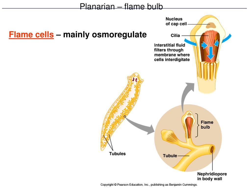 Planarian – flame bulb