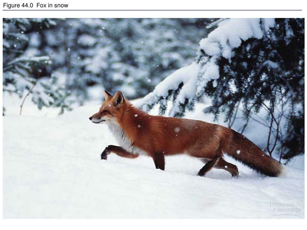 Figure 44.0  Fox in snow