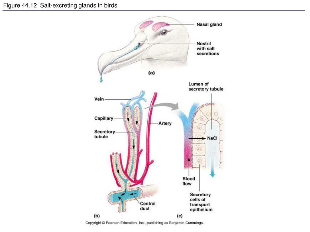 Figure 44.12  Salt-excreting glands in birds