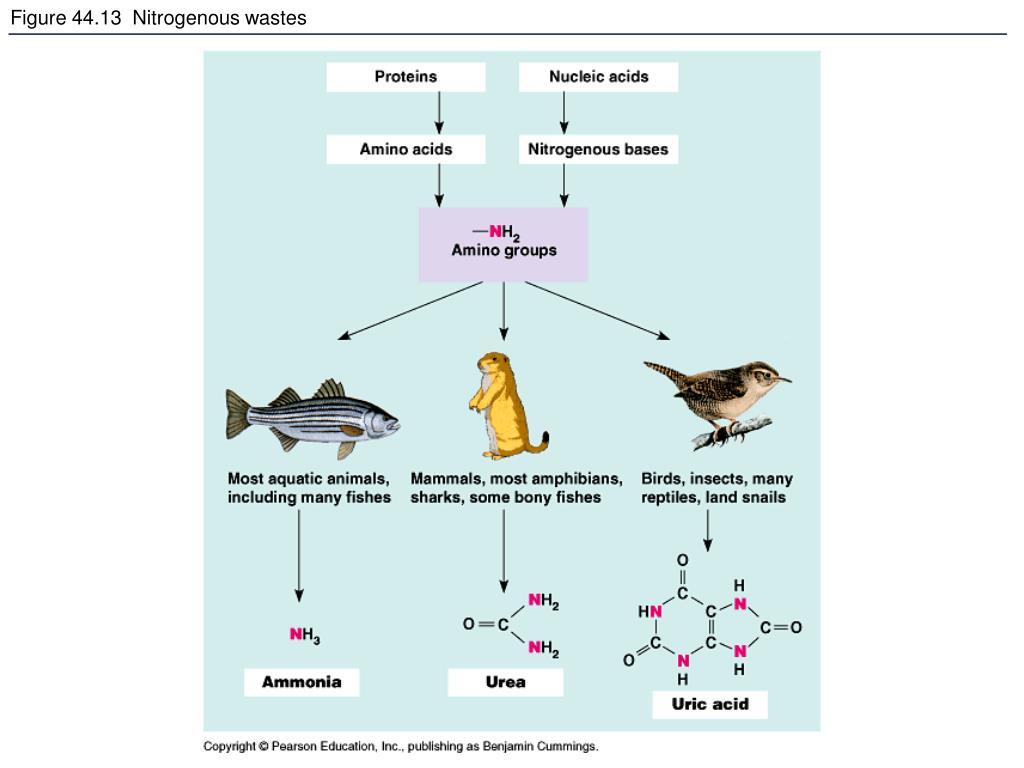 Figure 44.13  Nitrogenous wastes