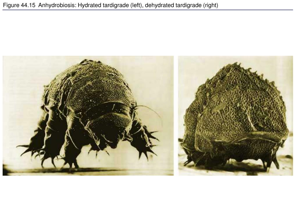 Figure 44.15  Anhydrobiosis: Hydrated tardigrade (left), dehydrated tardigrade (right)
