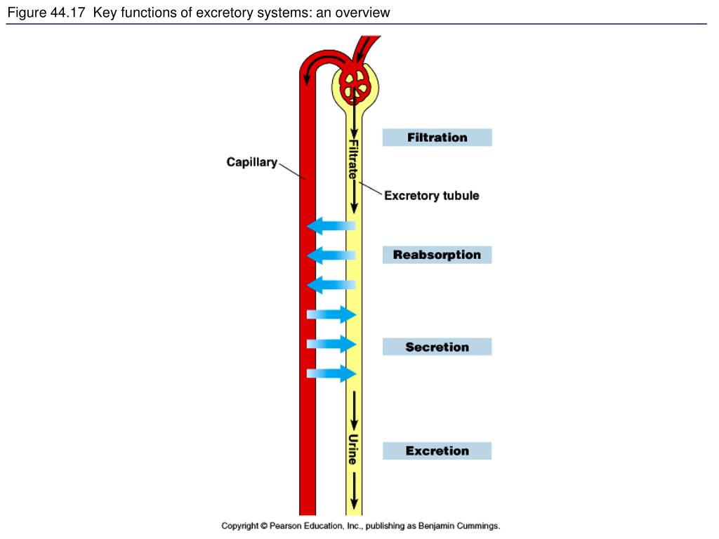 Figure 44.17  Key functions of excretory systems: an overview