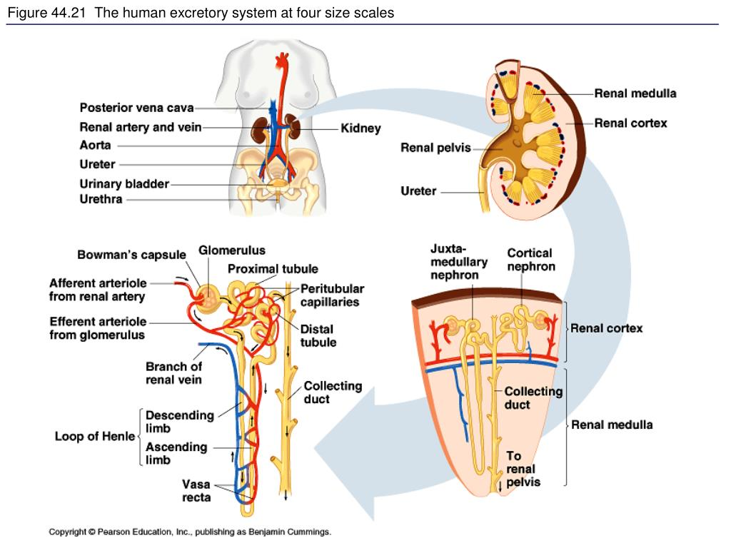 Figure 44.21  The human excretory system at four size scales