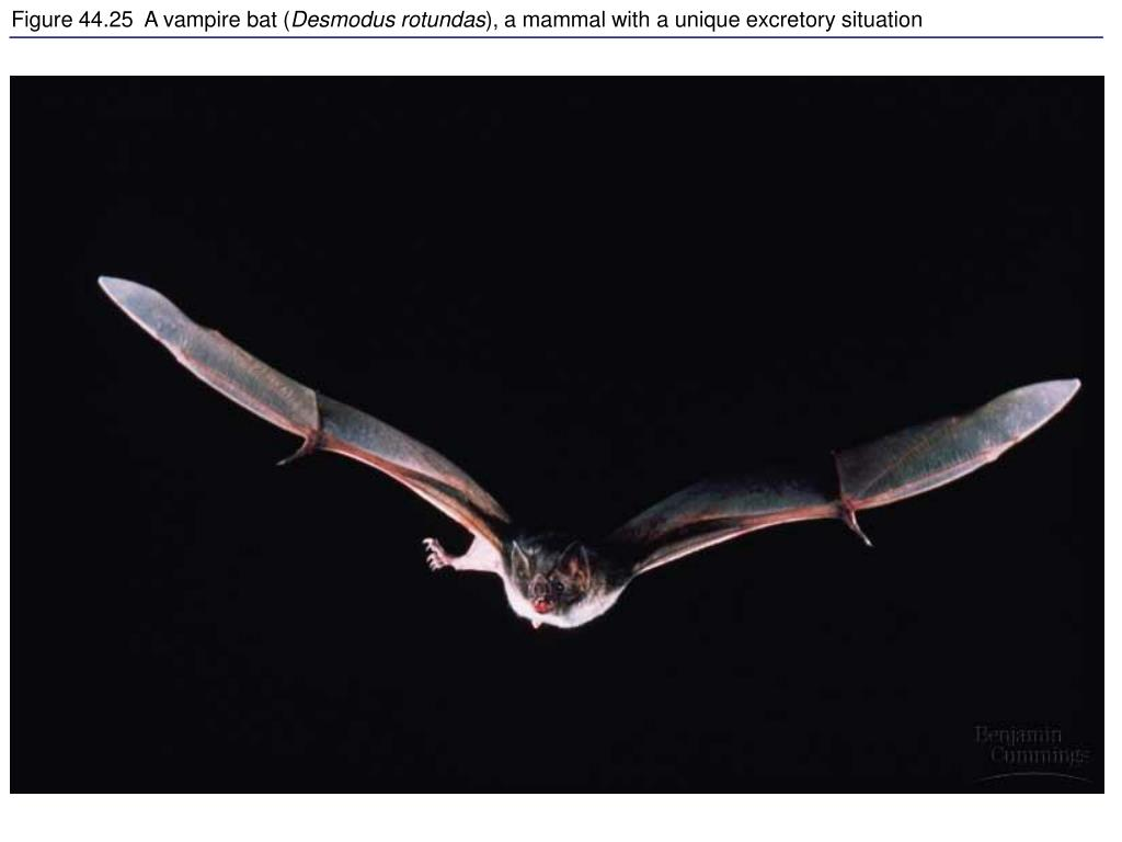 Figure 44.25  A vampire bat (