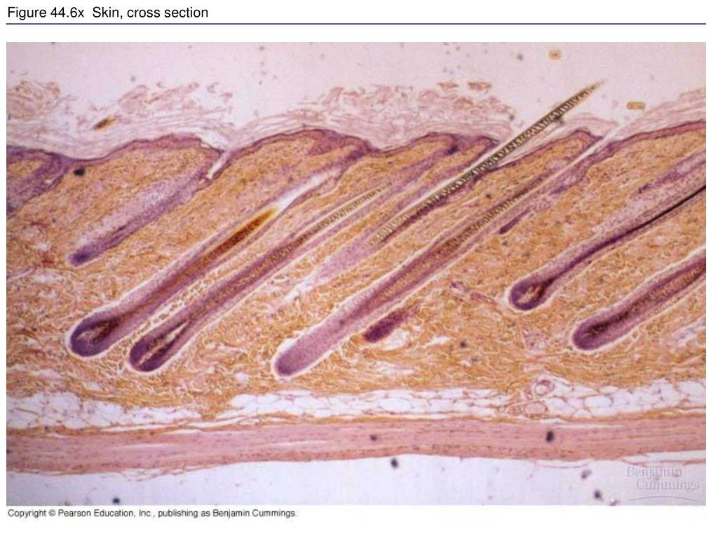 Figure 44.6x  Skin, cross section