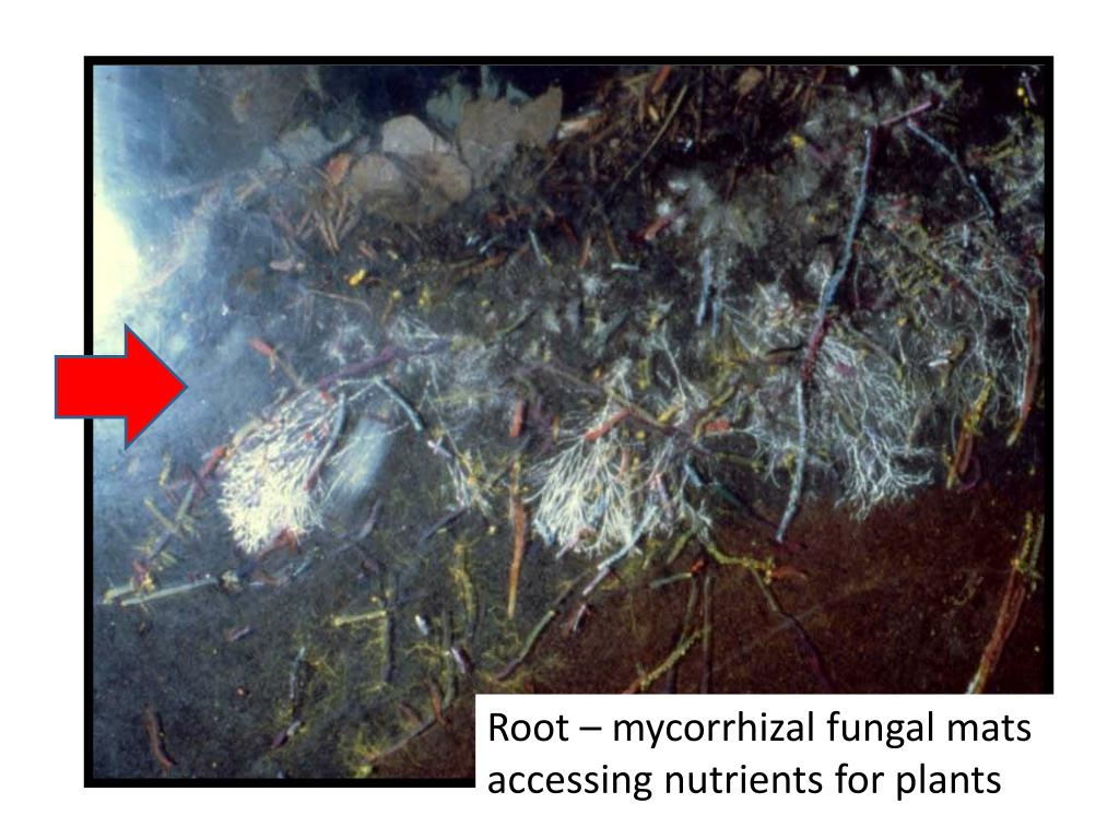 Root – mycorrhizal fungal mats accessing nutrients for plants