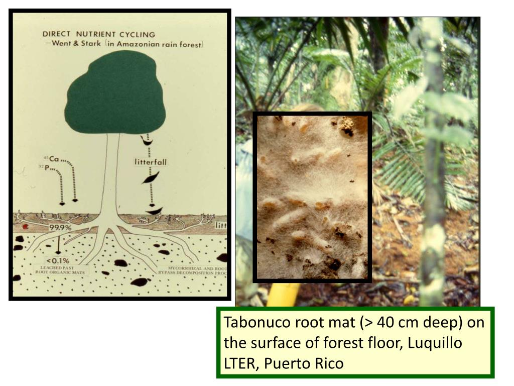 Tabonuco root mat (> 40 cm deep) on the surface of forest floor, Luquillo LTER, Puerto Rico