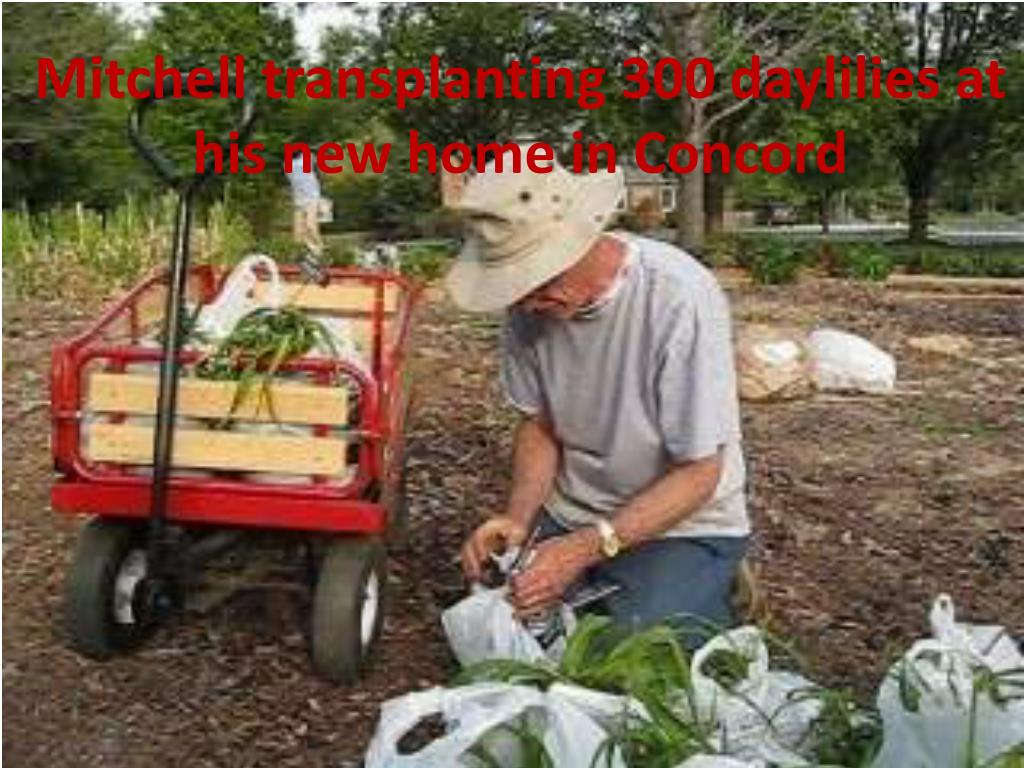 Mitchell transplanting 300 daylilies at his new home in Concord