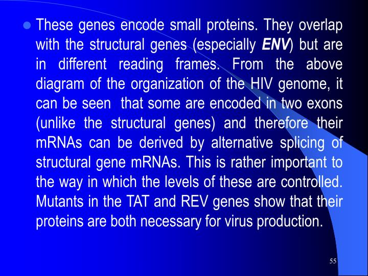 These genes encode small proteins. They overlap with the structural genes (especially