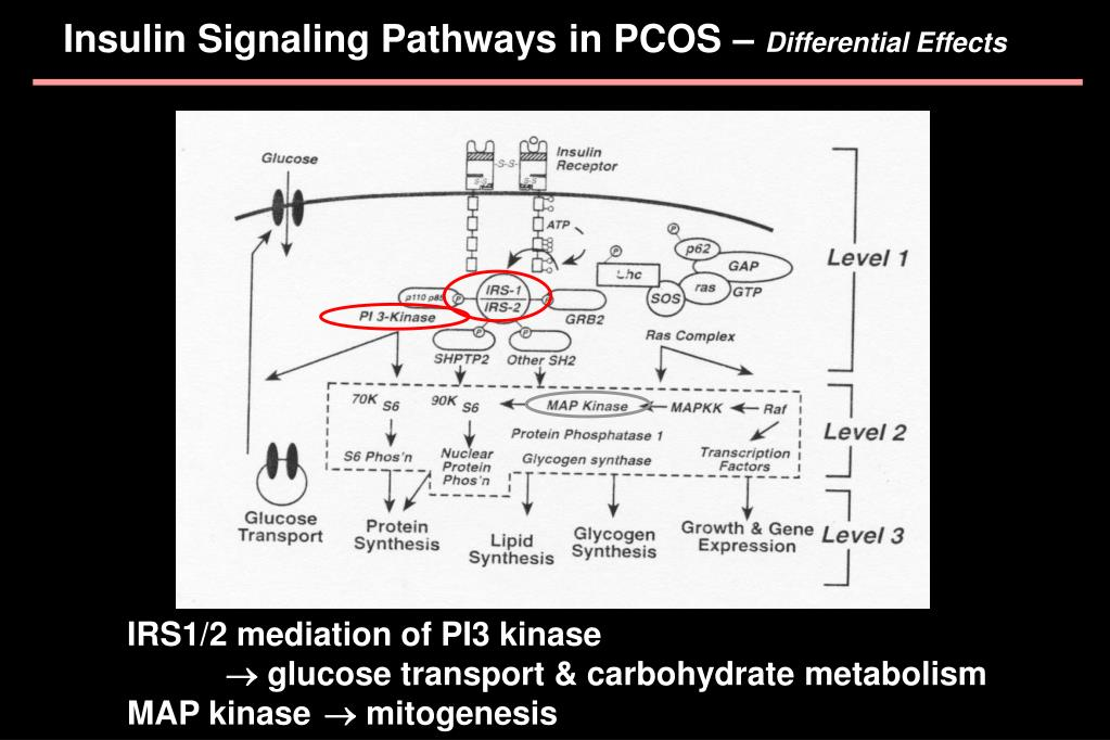 Insulin Signaling Pathways in PCOS –