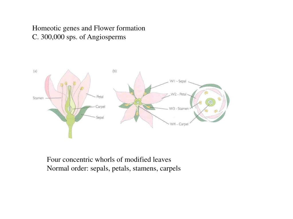 Homeotic genes and Flower formation