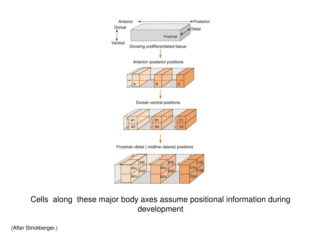 Cells  along  these major body axes assume positional information during development