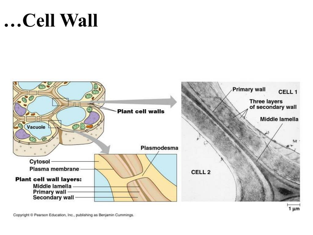 …Cell Wall