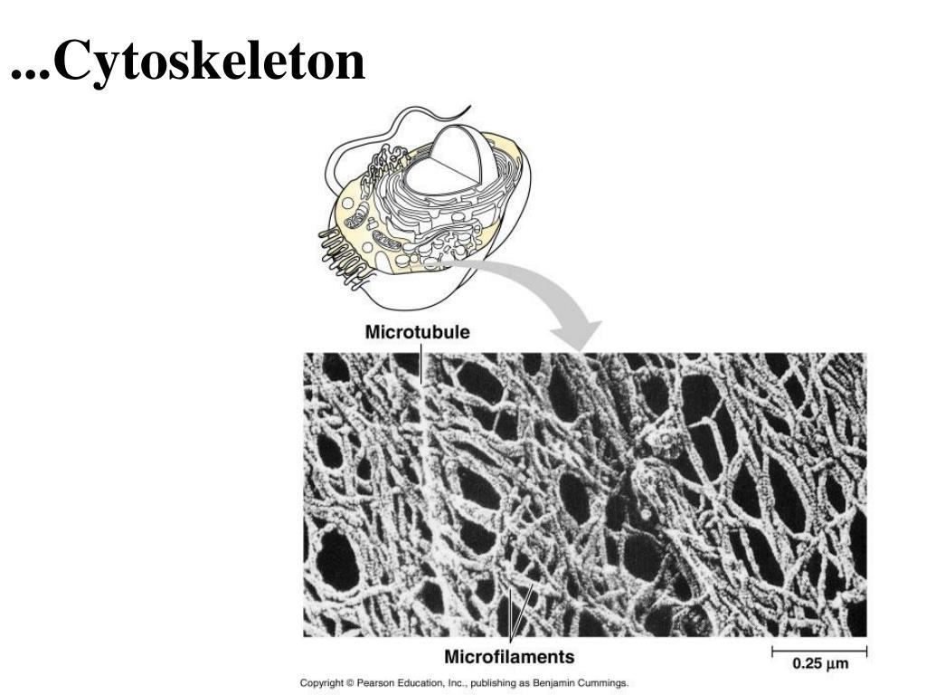 ...Cytoskeleton