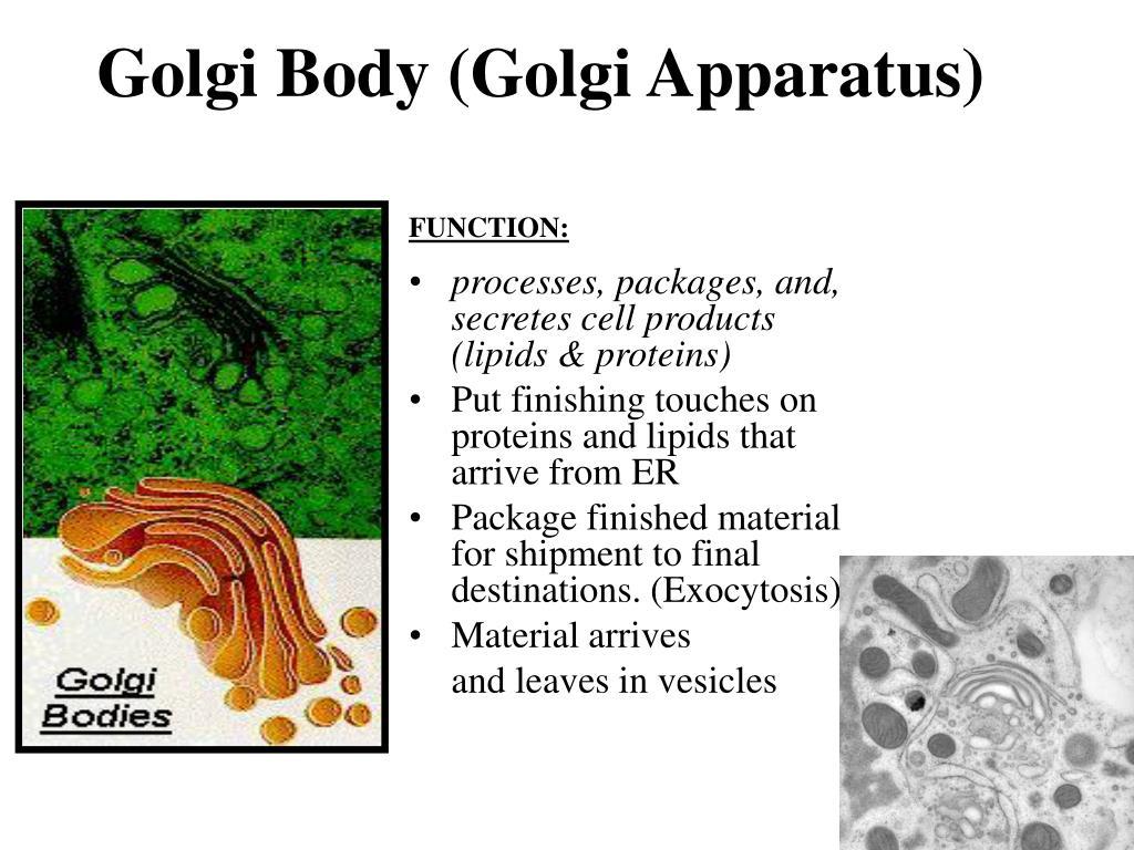 Golgi Body (Golgi Apparatus)