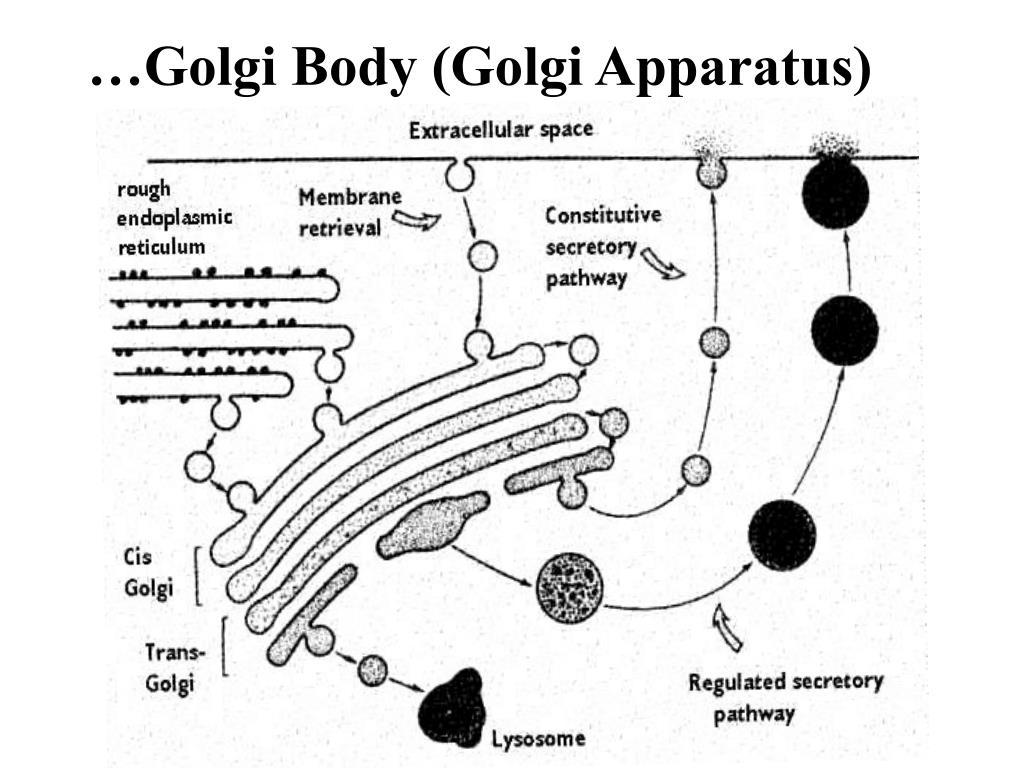 …Golgi Body (Golgi Apparatus)