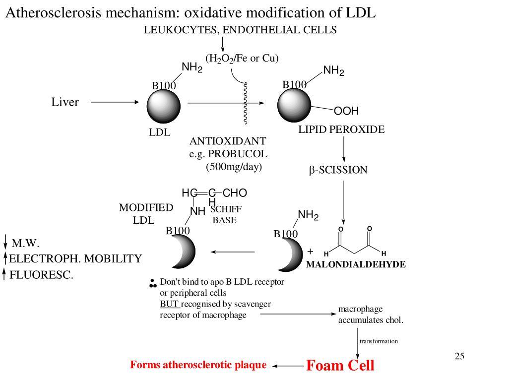 Atherosclerosis mechanism: oxidative modification of LDL
