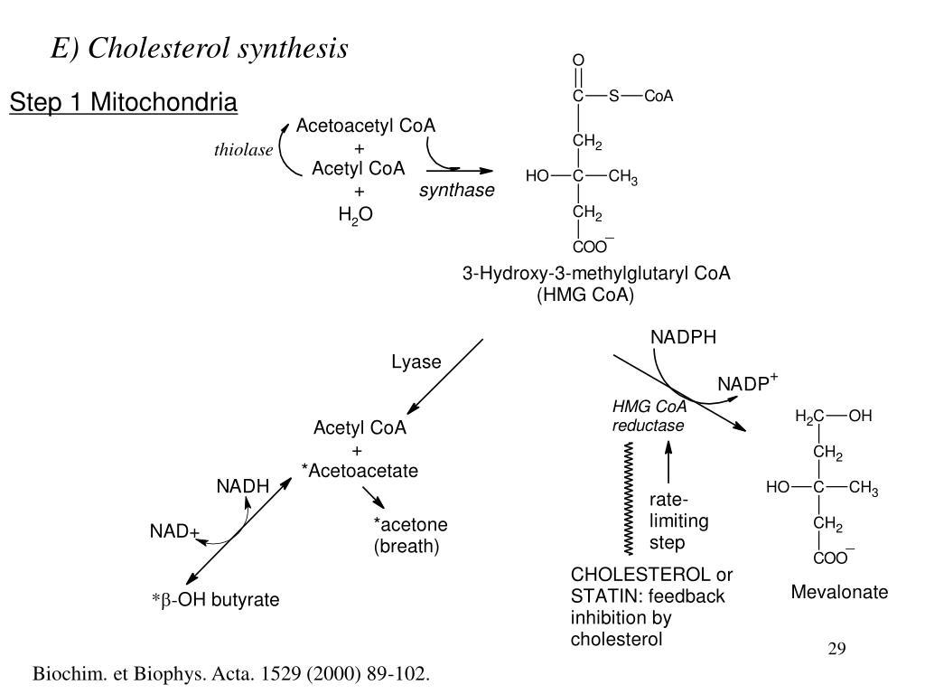 E) Cholesterol synthesis