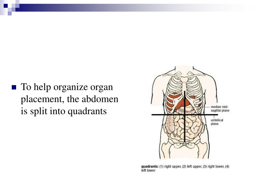 To help organize organ placement, the abdomen is split into quadrants