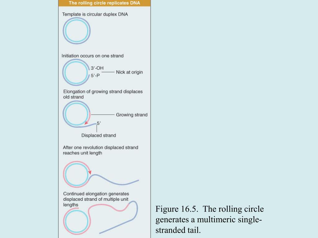 Figure 16.5.  The rolling circle generates a multimeric single-stranded tail.