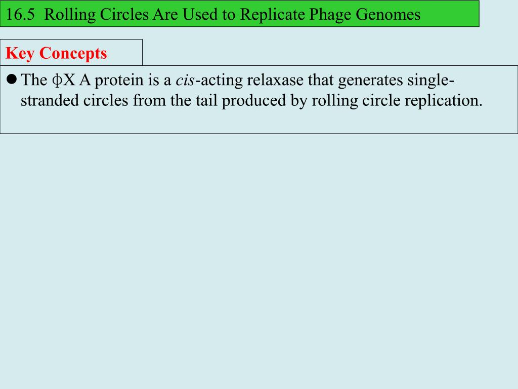 16.5  Rolling Circles Are Used to Replicate Phage Genomes