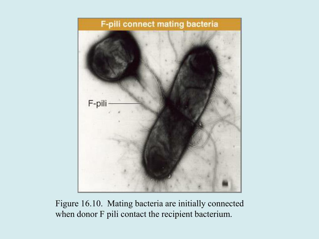 Figure 16.10.  Mating bacteria are initially connected when donor F pili contact the recipient bacterium.