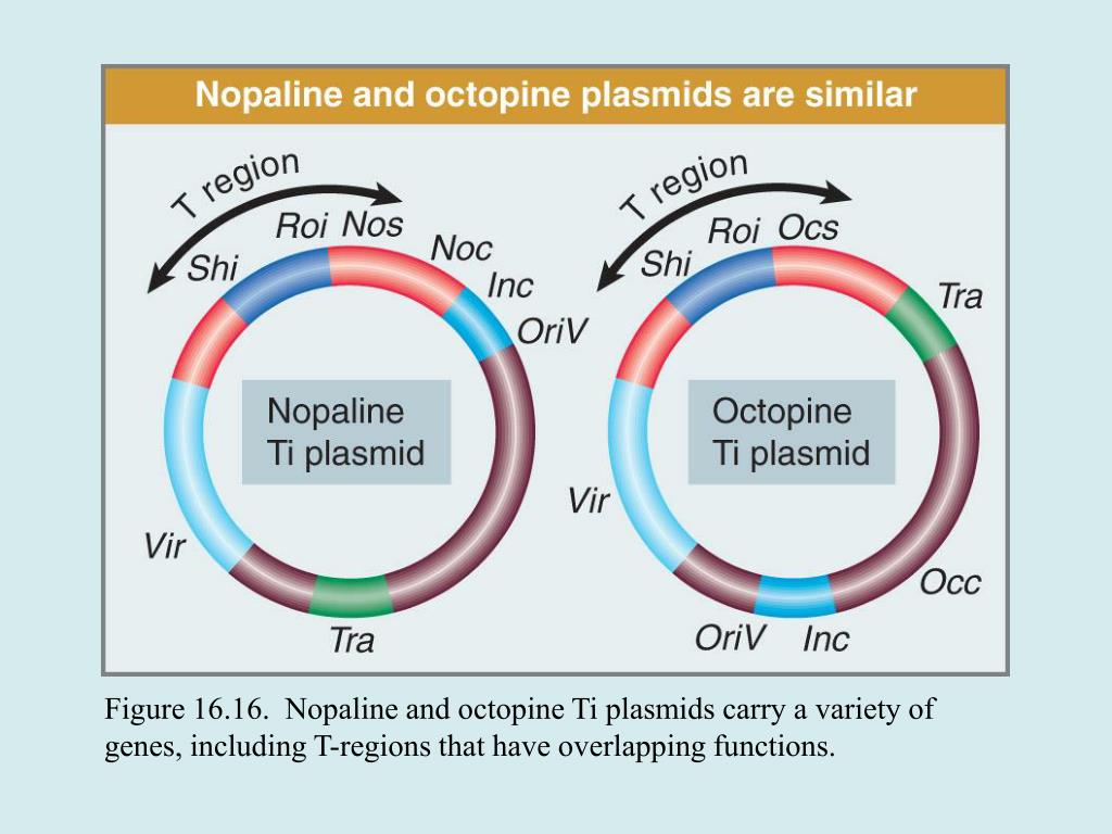 Figure 16.16.  Nopaline and octopine Ti plasmids carry a variety of genes, including T-regions that have overlapping functions.