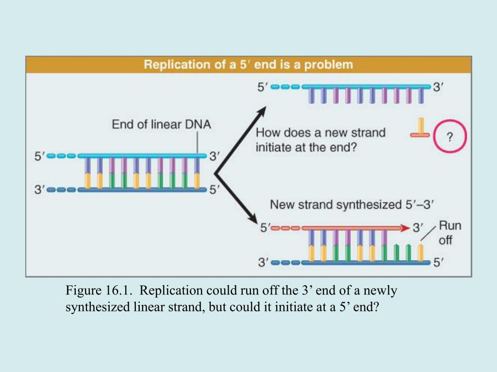 Figure 16.1.  Replication could run off the 3' end of a newly synthesized linear strand, but could it initiate at a 5' end?