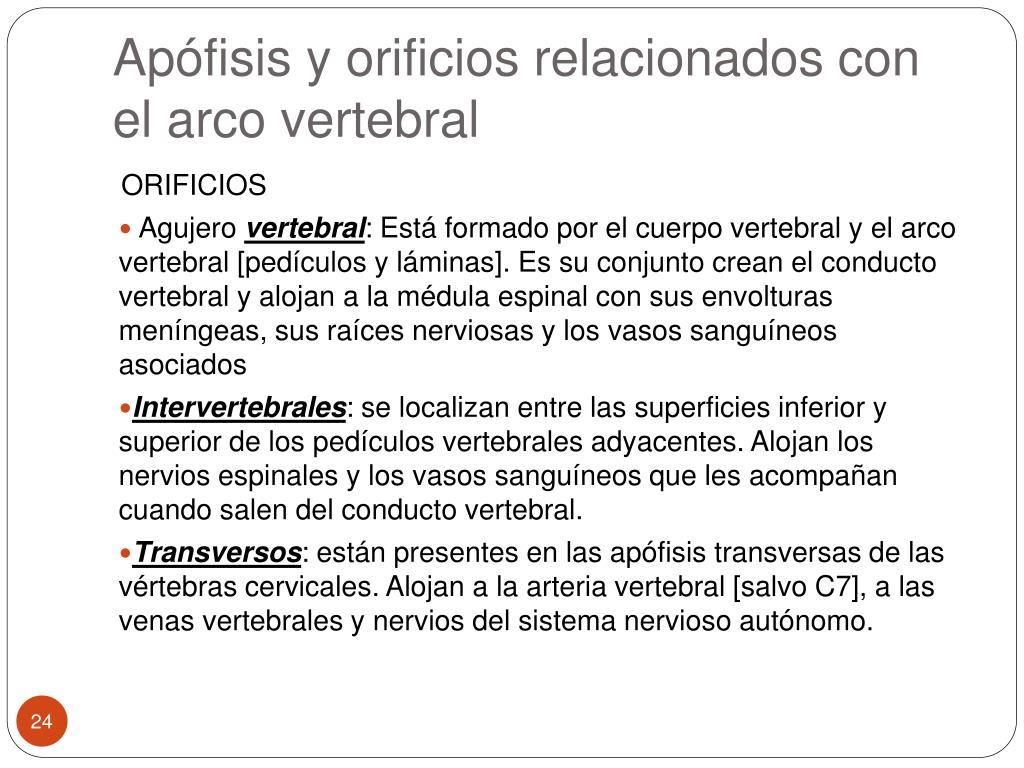 Apófisis y orificios relacionados con el arco vertebral