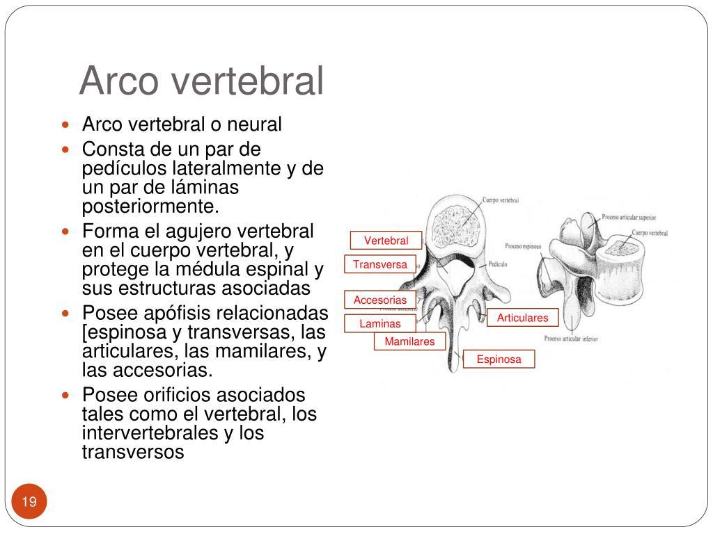 Arco vertebral