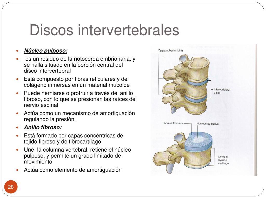Discos intervertebrales