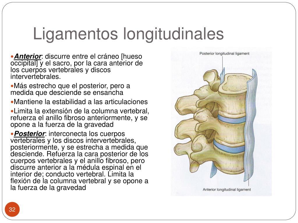 Ligamentos longitudinales