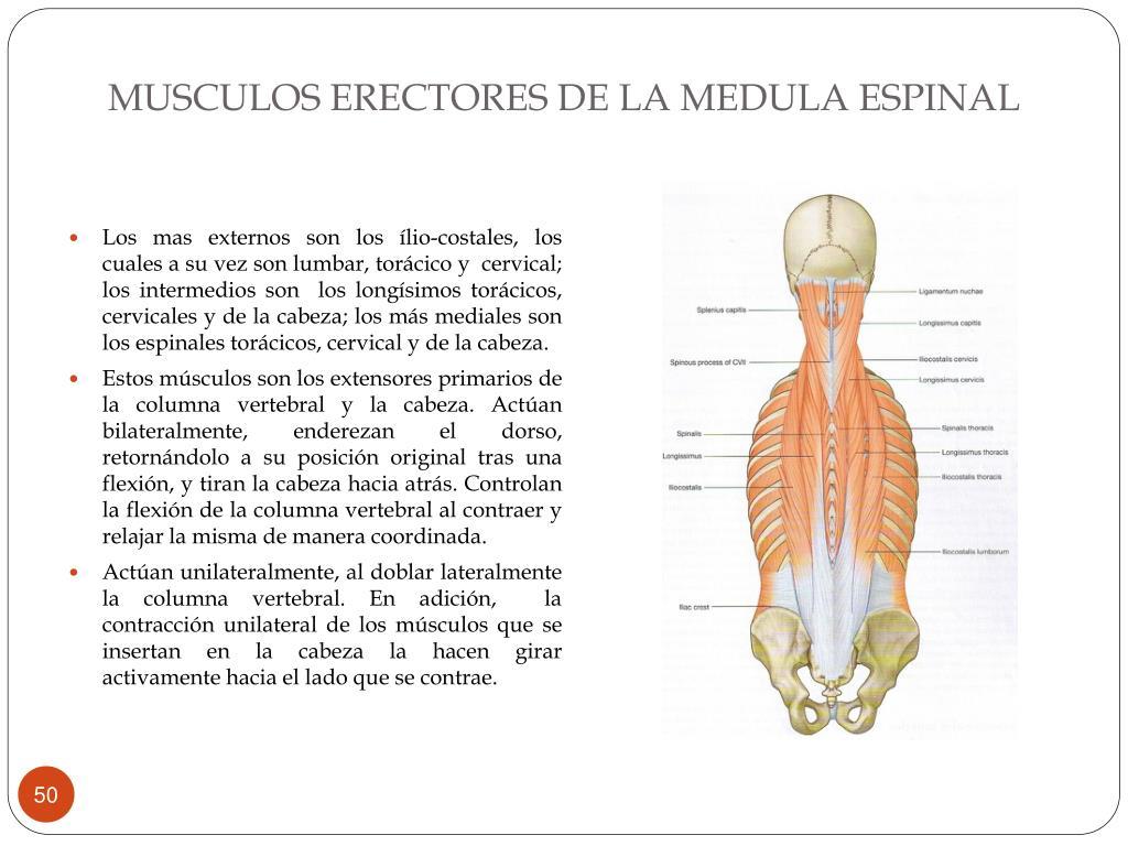 MUSCULOS ERECTORES DE LA MEDULA ESPINAL