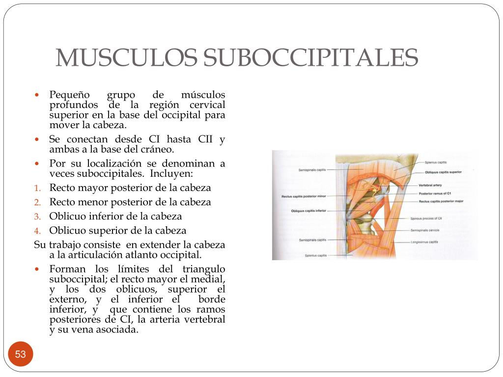 MUSCULOS SUBOCCIPITALES