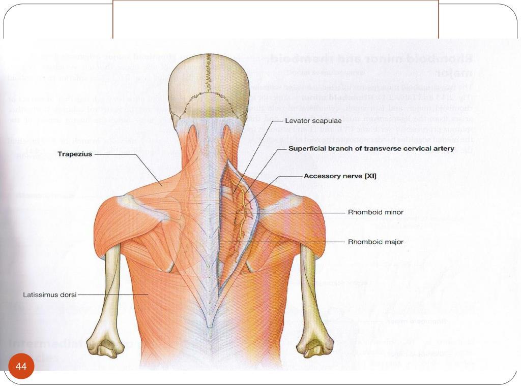 Inervación y riego sanguíneo músculos romboides