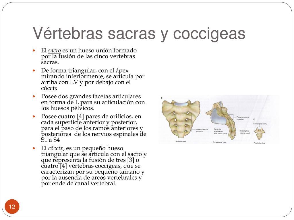 Vértebras sacras y
