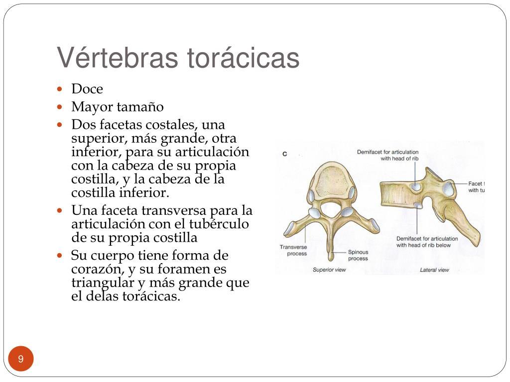 Vértebras torácicas