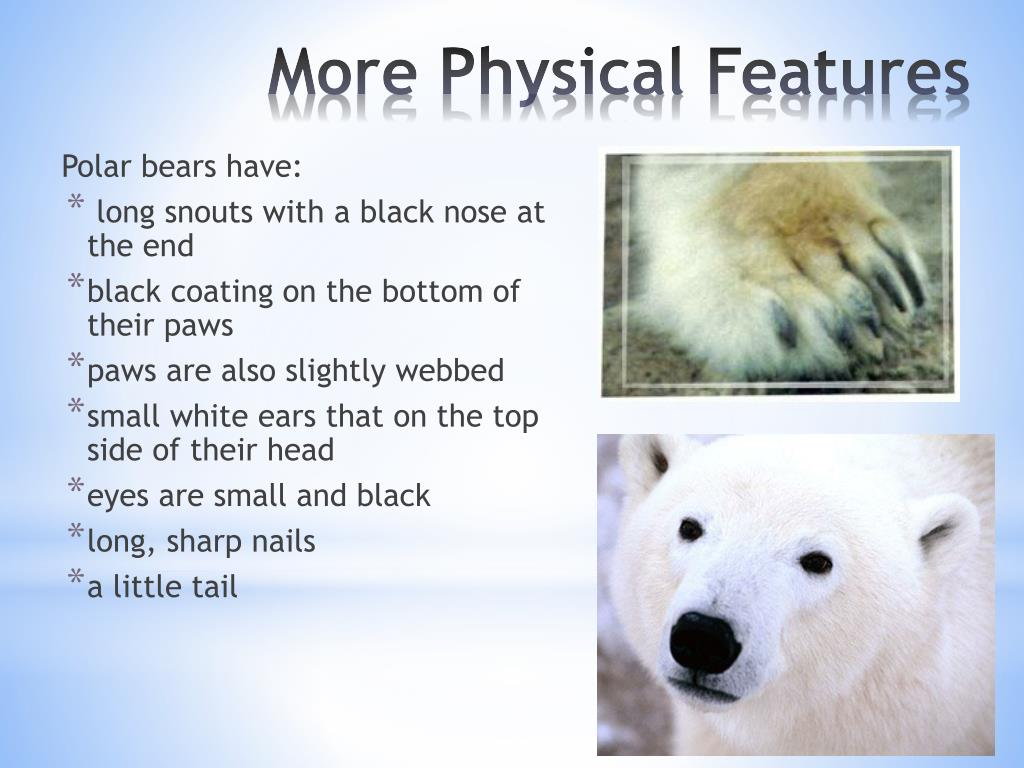 Polar bears have: