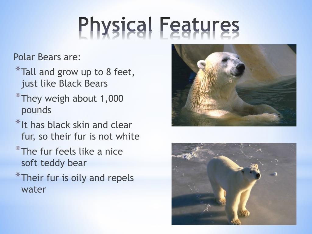 Polar Bears are: