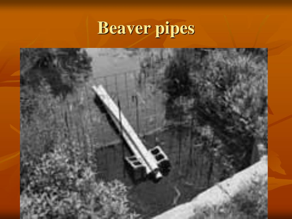 Beaver pipes