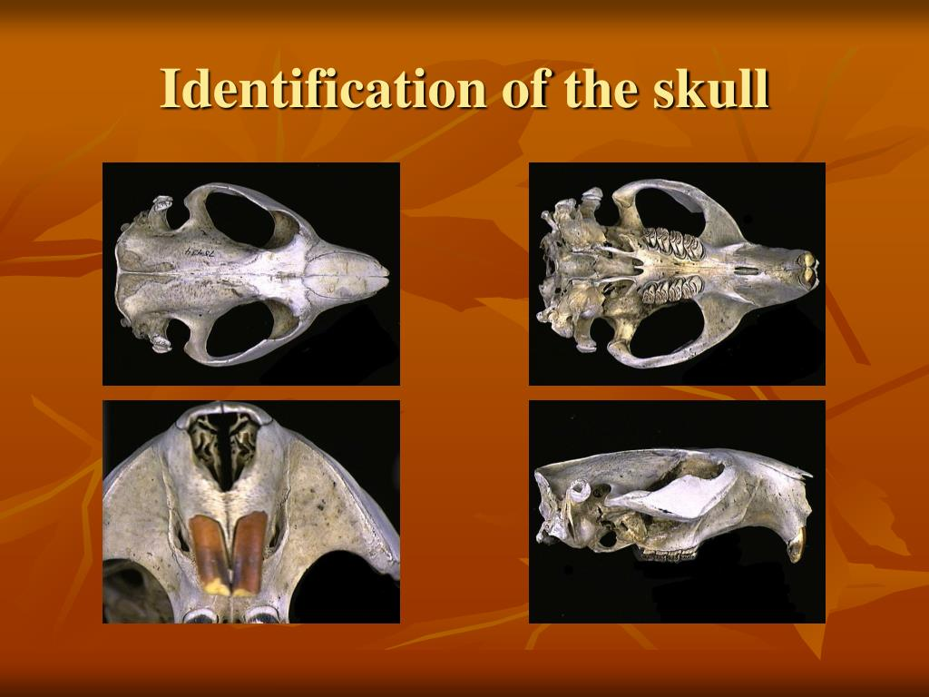 Identification of the skull
