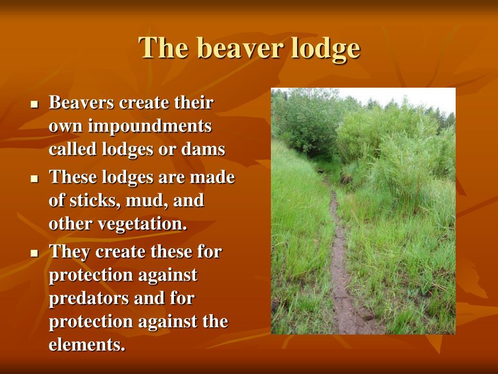 The beaver lodge