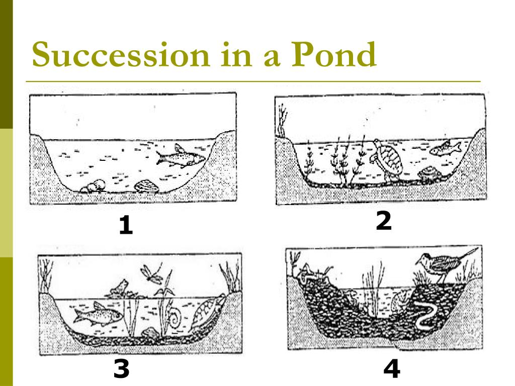 Succession in a Pond