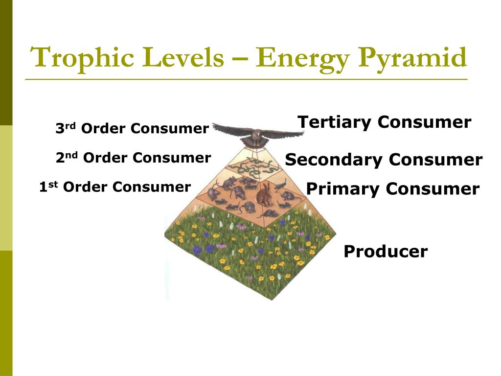 Trophic Levels – Energy Pyramid