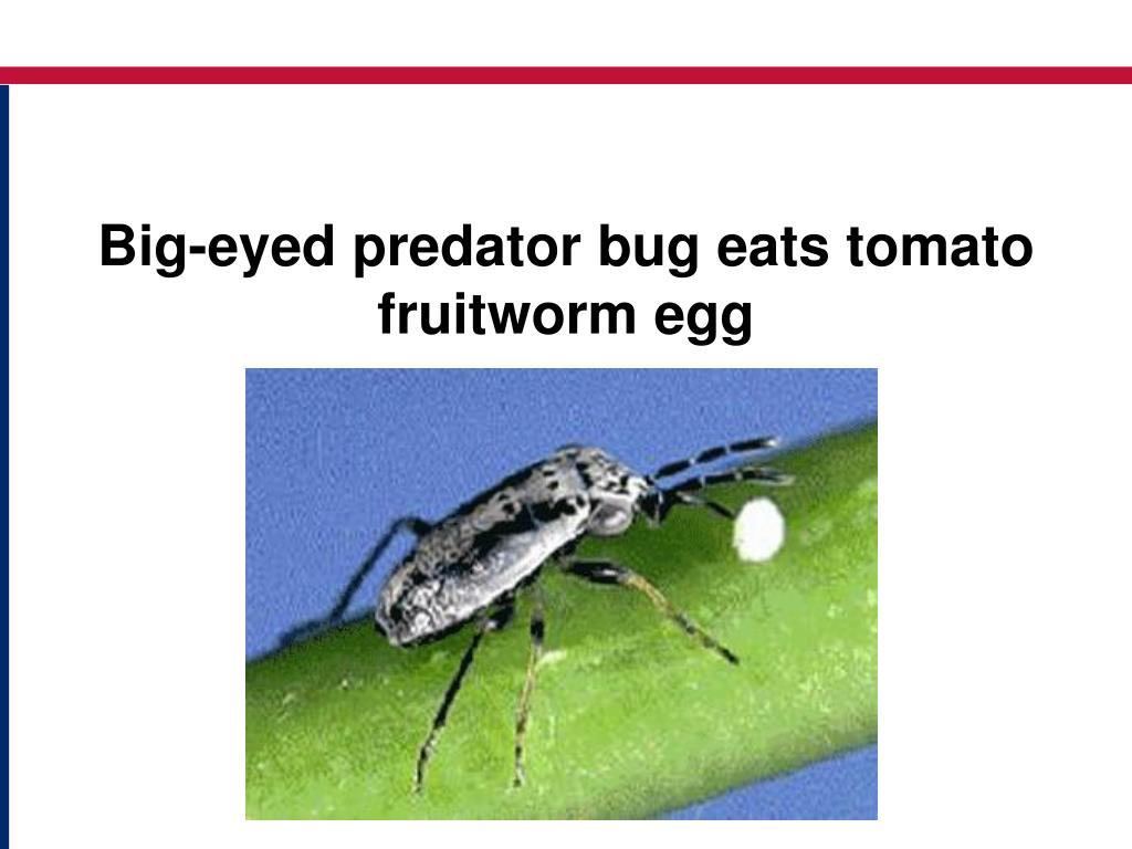 Big-eyed predator bug eats tomato